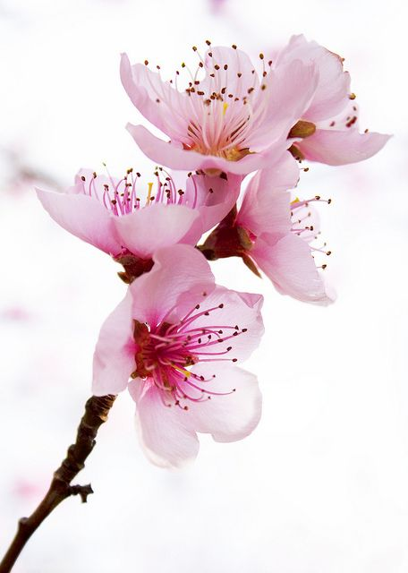 Beautiful pink blossoms ✿⊱╮