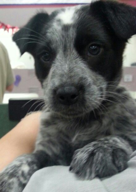 Blue Heeler/Border Collie Mix...Smokey