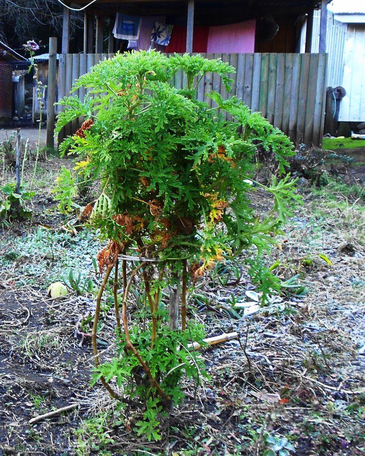 Ruda (Ruta graveolens). Planta medicinal. San Fabian de Alico.