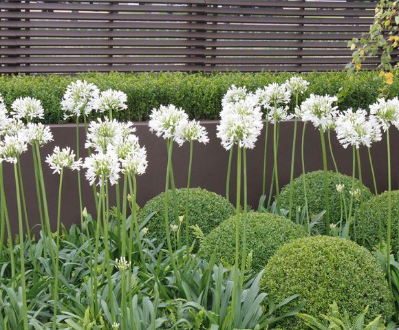 white agapanthus set among domes of box topiary and feathery ferns. One Abode. Agapanthus are not completely hardy so plant in pots & bring close to house or undercover in winter.