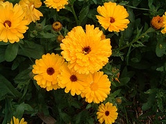 Calendula is an excellent natural  ointment for burns