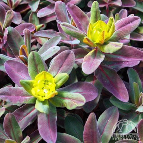 Euphorbia polychroma 'Bonfire'