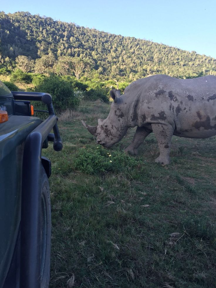 One of our rhino just out of a mud bath, crossing in front of a game viewing vehicle at Sibuya Game Reserve, Kenton on Sea, Eastern Cape, South Africa www.sibuya.co.za