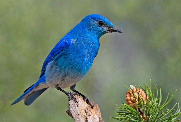State Bird of Idaho   Mountain Bluebird