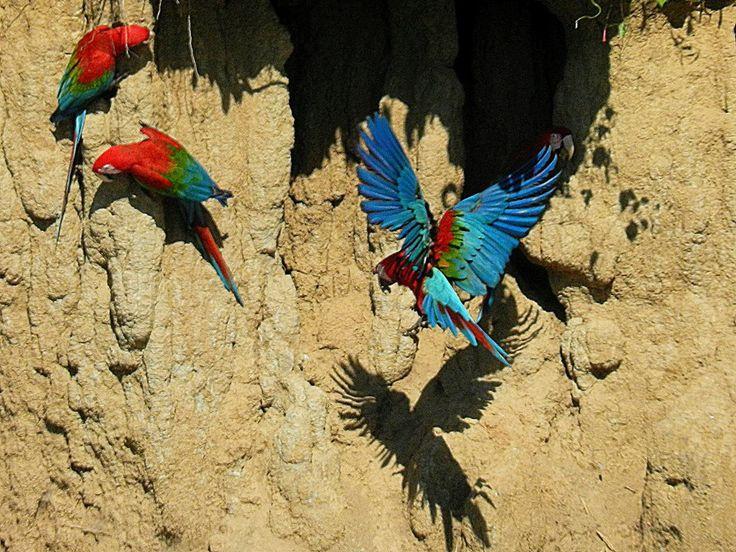 #manunationalpark #macaws #perutravel