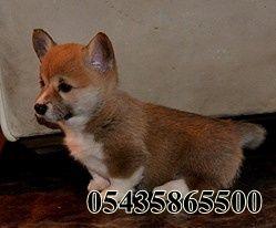 corgi köpek fiyatları  http://welsh-corgi.yavruilani.com/corgi-kopek-fiyatlari/