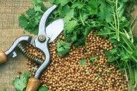 Légumes et potager - Premier potager : la coriandre