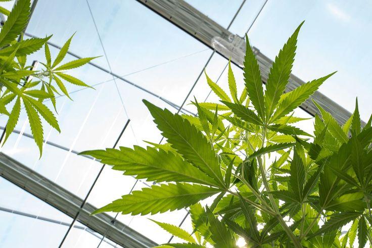 Marijuana Companies, Soaring in Stock Market, May Tap Bonds Next