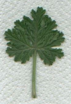 Pelargonium citrosum (Citronella)