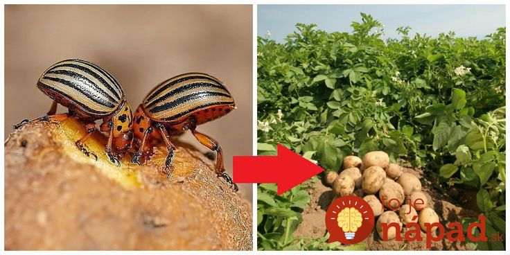 """Pásavka zemiaková, alebo ako my hovoríme """"mandelínka"""" – každoročný problém na našich zemiakových záhonoch. Keď pestujem zemiaky doma, chcem aby boli čo najviac bio, chémiu nepoužívam a celé roky som každý rok pracne oberala chrobáky ručne a potom zabárala vo vriacej vode."""