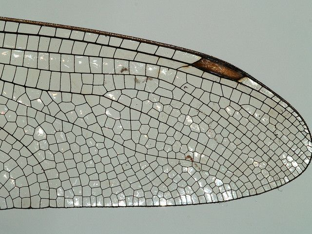 Wing of a dragonfly, detail: Photography by Rolf Müller The wing shows a interesting structure: there are cells with a certain angle (120° and 90°). look up Fibonacci's Fractals