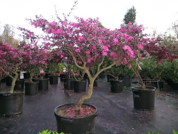 loropetalum bonsai - Google Search | Bonsai - Flowers | Pinterest ...