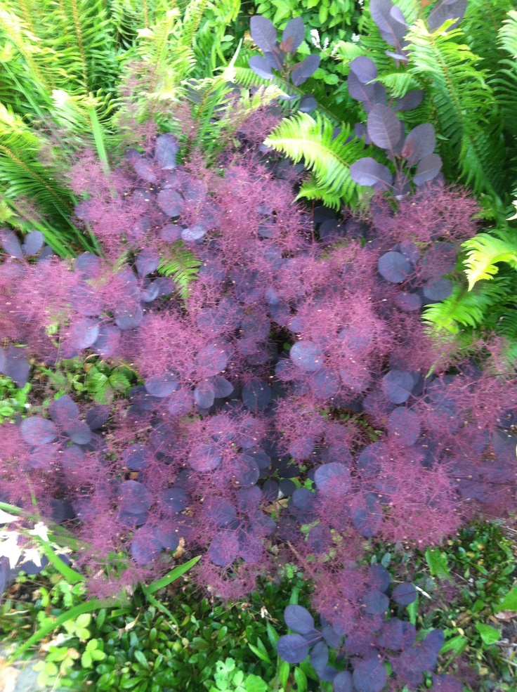 "smoke bush - this is a wonderful bush for the garden. the blooms are very airy, thus the name ""smoke"" bush. also changes colors with the seasons."