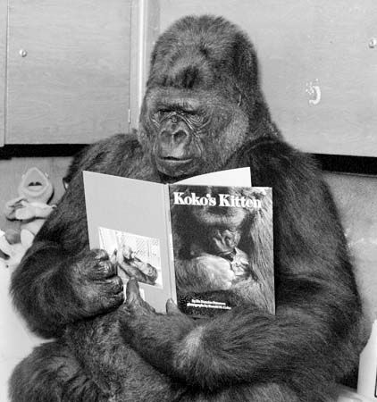 Koko the Orphaned gorilla child who was taught to speak sign language and communicate with humans . This is the sweet but heartbreaking  tale of Koko and her pet kitten , All Ball who Koko named her self ~♛