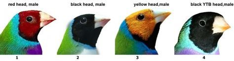 The different color mutations of the Gouldian Finch.