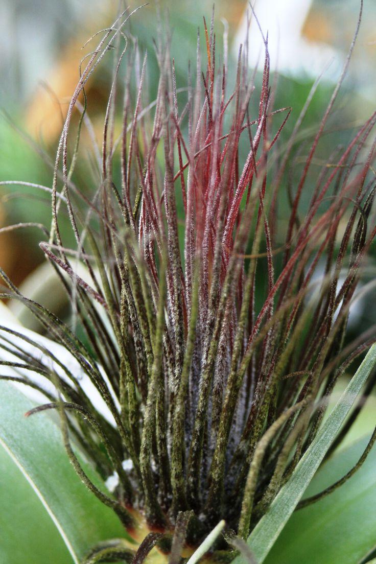 1000 images about tillandsia air plants on pinterest gardens flower and plants. Black Bedroom Furniture Sets. Home Design Ideas