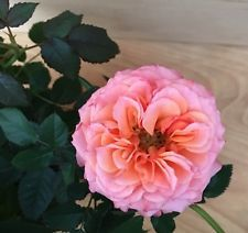 Unique Miniature Rose Pre Bonsai Fairy Garden Orange And Pink #3
