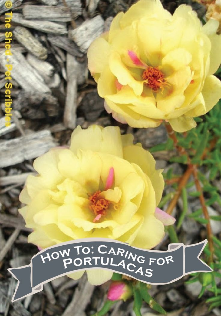 The Portulaca Or Rose Moss Is The Easiest Plant To Take