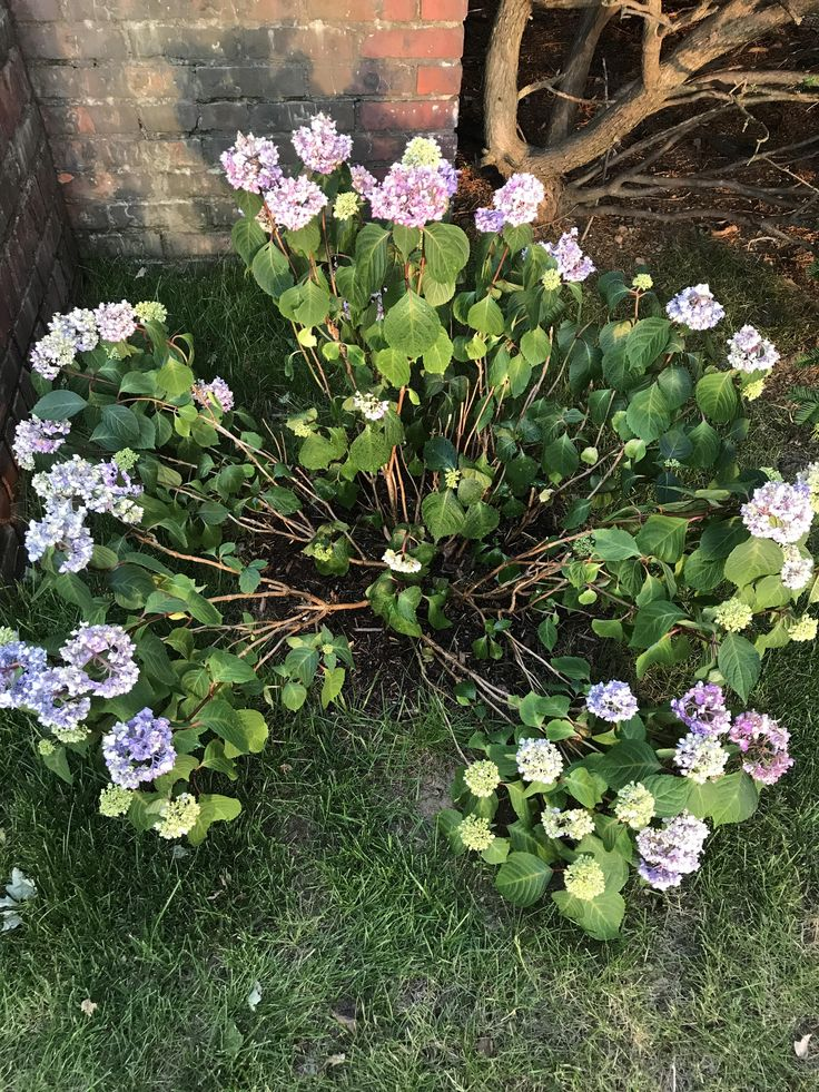 Hydrangea branches splayed / laying on ground? Normal? Gets morning/early-mid afternoon sun and late evening sun. Been raining and I water when it hasn't been as much. #gardening #garden #DIY #home #flowers #roses #nature #landscaping #horticulture