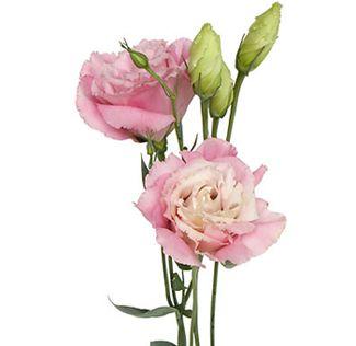 Pink Lisianthus Flower
