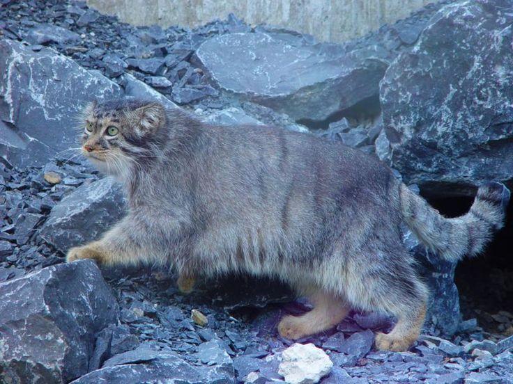 Il gatto di Pallas( o Manul) vive nelle steppe asiatiche fino a 4.000 metri di altitudine. Si tratta di un predatore notturno.