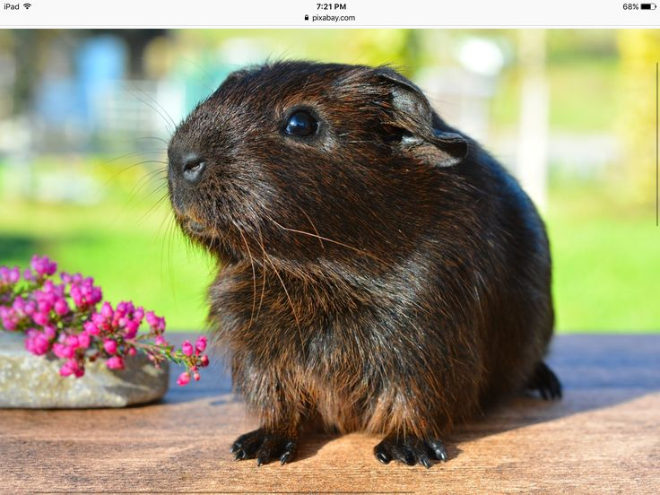 Chocolate coloured guinea pig!