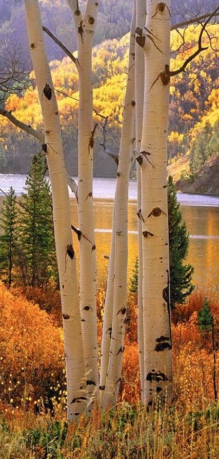 Autumn in the Aspen forest.