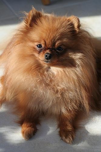 Savannah- Pomeranian    Like, repin, share! :)