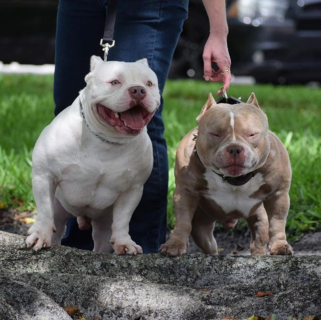 The Extreme Pocket American Bully Pocket Bully American
