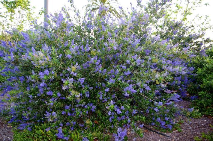 7 best scc valley qualifying plants images on pinterest for Purple flower shrub california