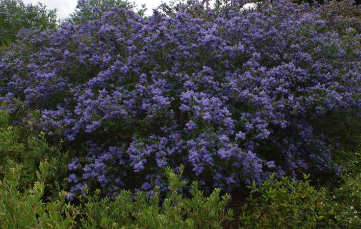 Ceanothus Frosty Blue   For the right side of entrance area - height level 3 (NA)