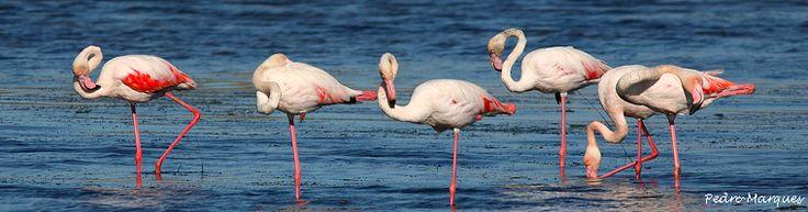 Flamingos na ria de Alvor, Algarve
