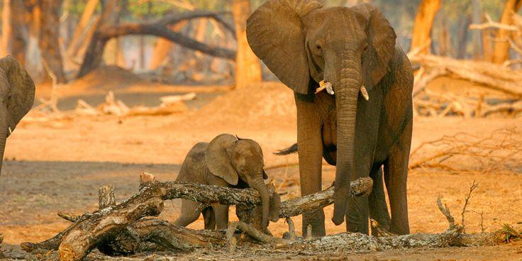 Elefanten - die grauen Riesen - WWF Deutschland