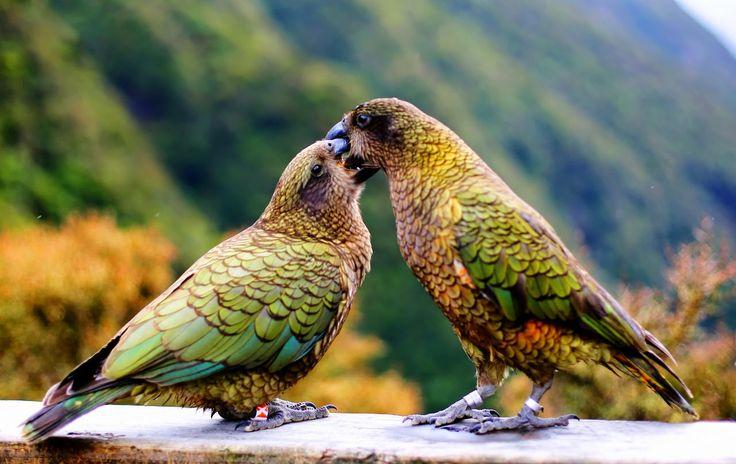 Kiss or Bite? Keas embrace - New Zealand