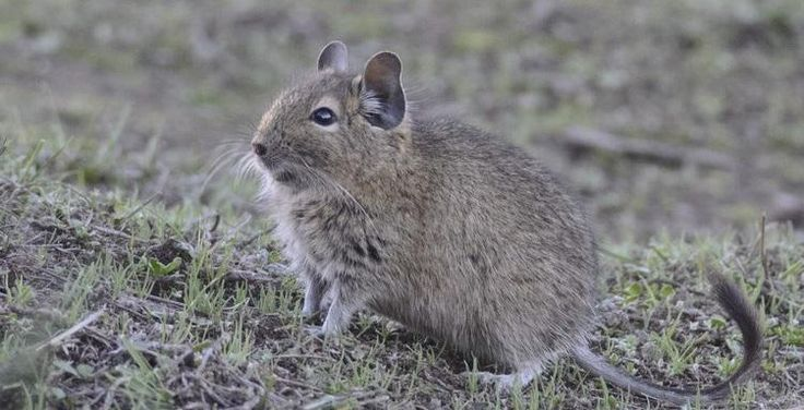 The coastal Degú is an endangered native Chilean rodent. You can find it all around the central regions of Chile.