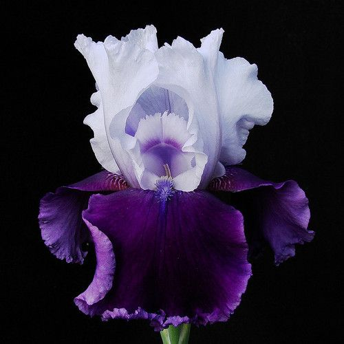 ~~ Iris ~~: Black Backgrounds, Iris Flowers, Gorgeous Flowers, Beards Iris, Shades Of Purple, Mothers, Colors, Violets, Blossoms