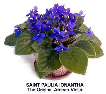 African Violet Plant Care Instructions