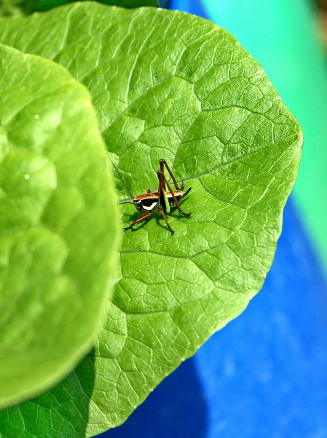 An invader to my lettuce at my kitchen garden by Alteroad Giorgio Emmanouilidis on 500px
