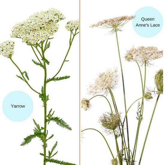 yarrow and queen annes lace infographic