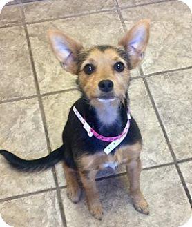 Terrier (Unknown Type, Medium) Mix Dog for adoption in Joplin, Missouri - Cara 5576