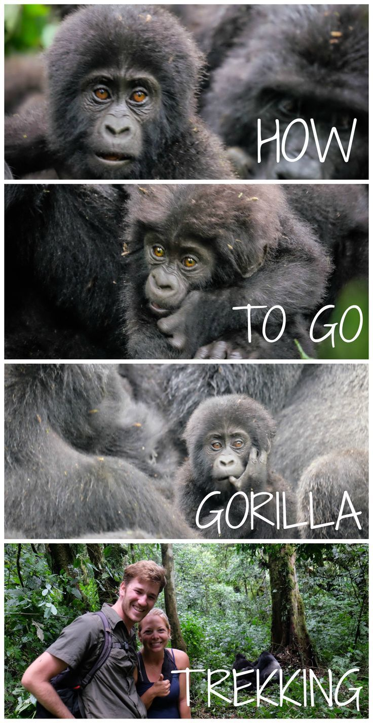 All you need to know about going Gorilla Trekking in Africa.