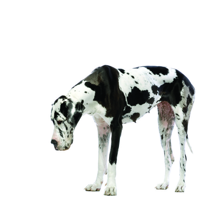 10 Surprising Facts about the Great Dane
