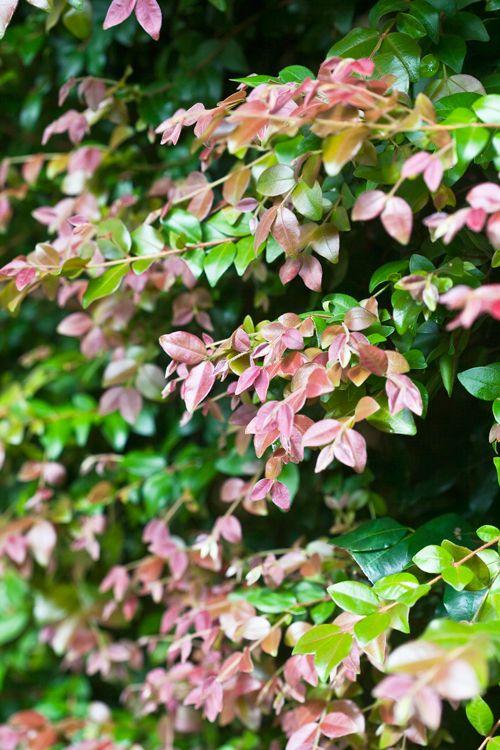 Best Lilly Pilly Varieties - Burke's Backyard