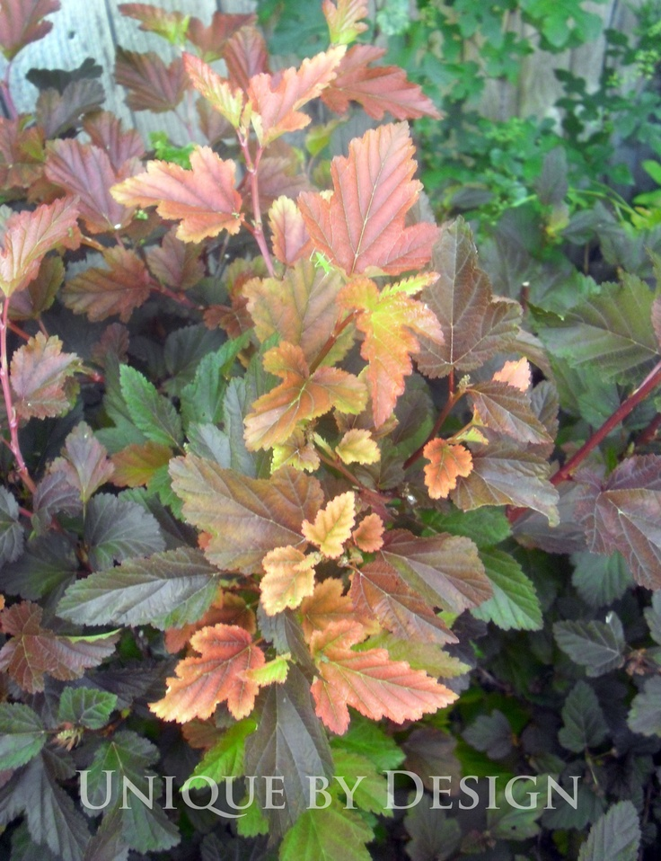 Ninebark 39 Center Glow 39 A Spring And Fall Favorite Flora
