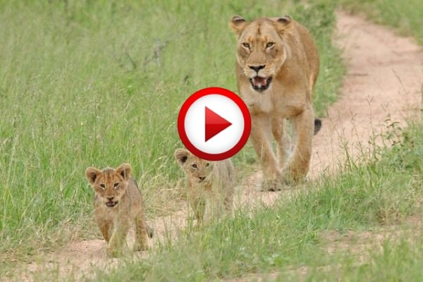 Lion attack: Persistence Pays #animals, #lions, #videos, #pinsland, https://apps.facebook.com/yangutu