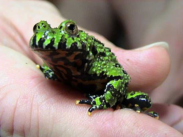How to Care for Fire Belly Toads in 6 Steps