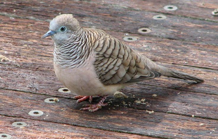 Peaceful Dove (Geopelia placida) is a pigeon native to Australia and New Guinea.