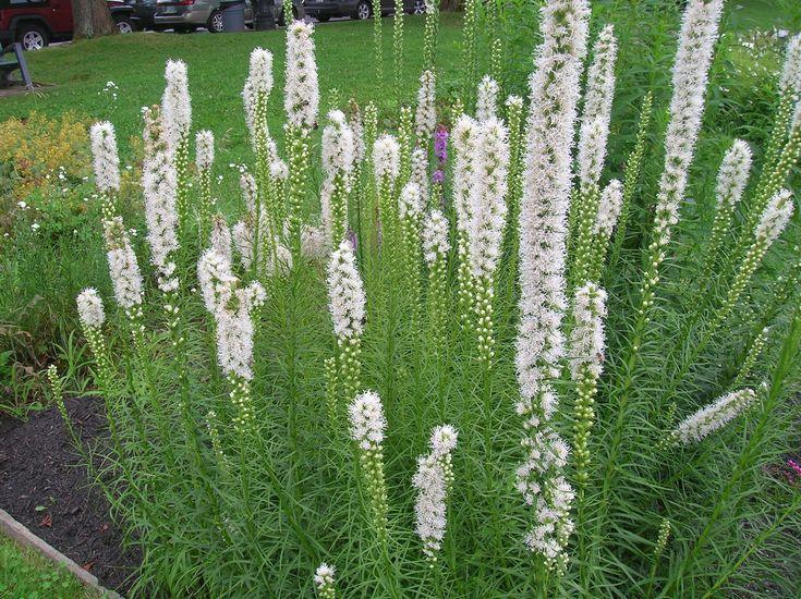 trvalka ktorá by bola ako prímes v trávových záhonoch, na jar by tam  kvitli cesnaky a v lete táto tu - všetko by to bolo biele