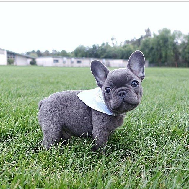 I M Here To Make You Happy Tokifrenchie Puppy Puppylove Puppygram Puppyoftheday Puppyl Cute French Bulldog Bulldog Puppies Grey French Bulldog