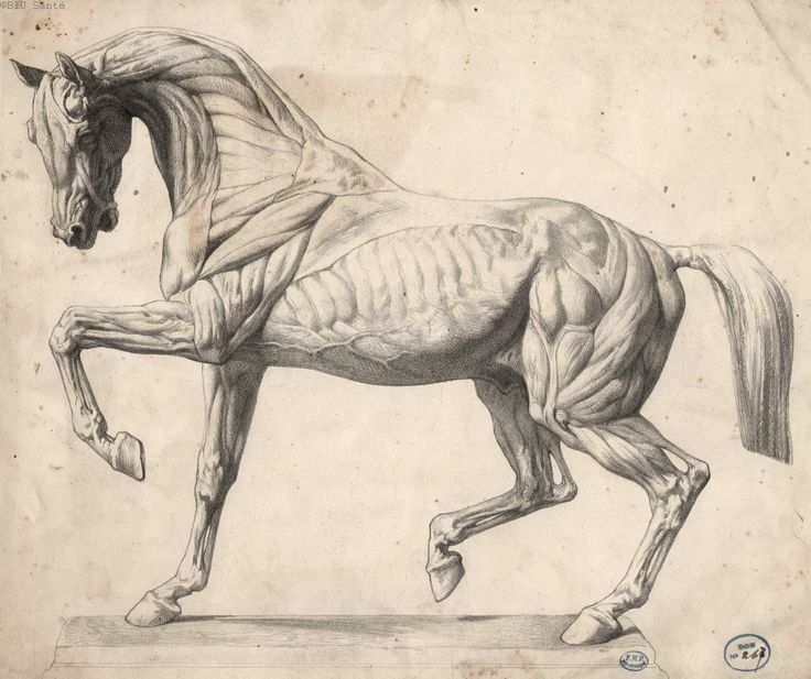 Image result for horse muscles diagram for artists